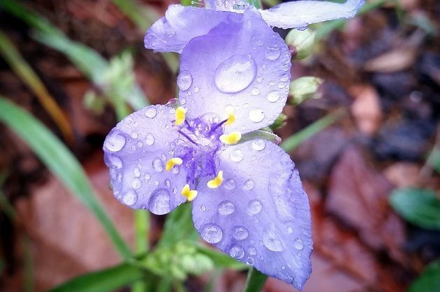 Nature Photography in the Rain Spiderwort