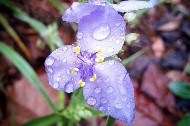 Nature Photography in the Rain Spiderwort