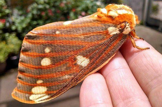 Regal Moth K Gilpin National Moth Week 2015