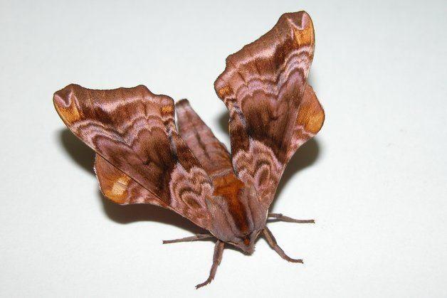 Small Eyed Sphinx Moth National Moth Week 2015