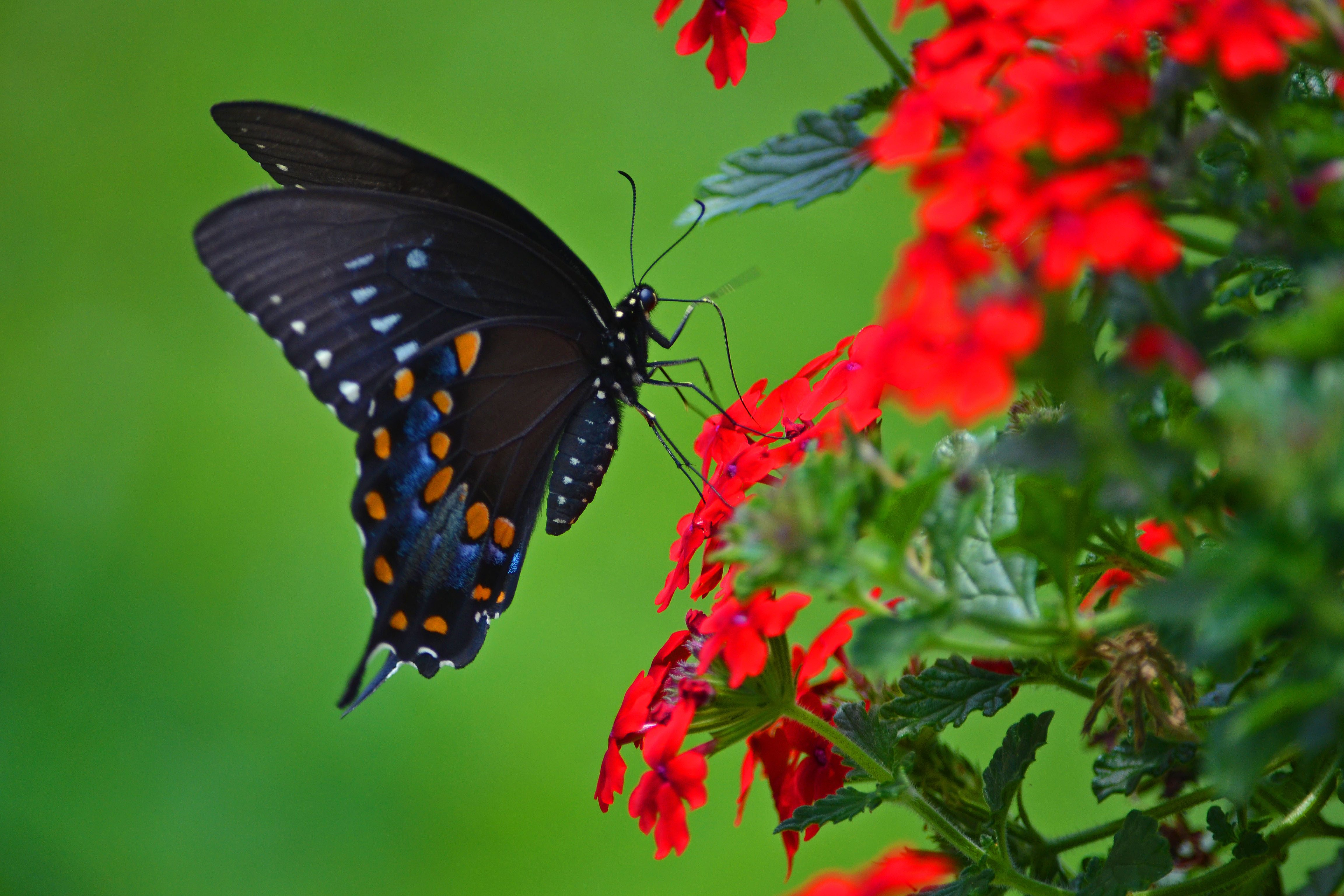 Spicebush swallowtail birds and blooms