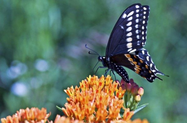 Top 10 Plants For Swallowtails | Birds & Blooms Magazine