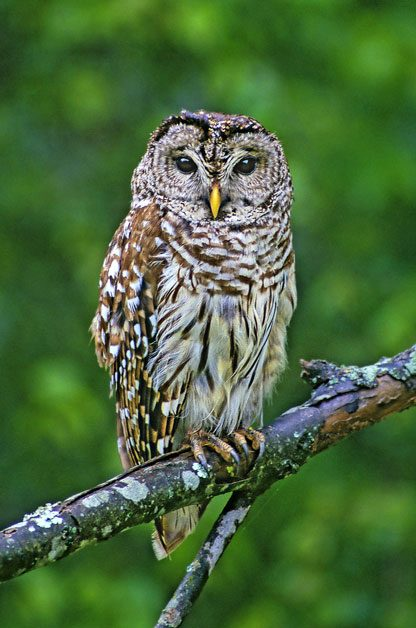 Go on an evening owl prowl to see barred owls.