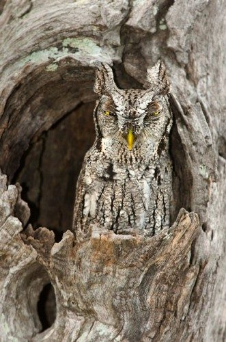 Eastern screech-owls let out a wailing sound that is reminiscent of a horse whinny.
