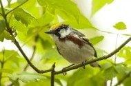 Bird Species Profile: Chestnut-sided Warblers
