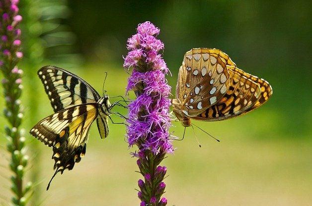 Blazing Star in the Butterfly Garden