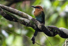 Bird Species Profile: Broad-billed Motmot