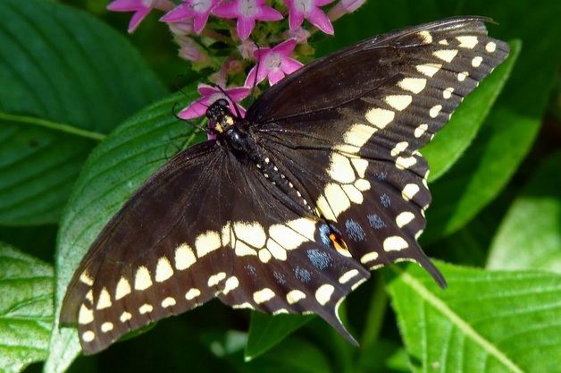 Common Swallowtail Butterflies Black