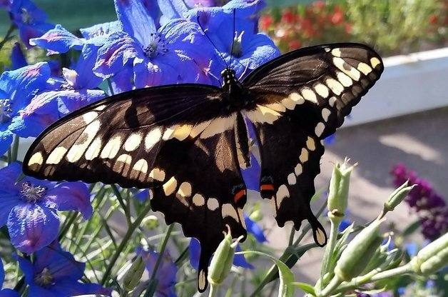 Common Swallowtail Butterflies Giant