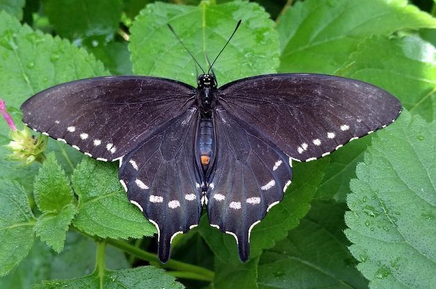 Common Swallowtail Butterflies Pipevine