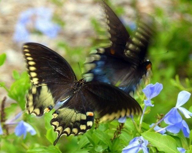 Common Swallowtail Butterflies Spicebush