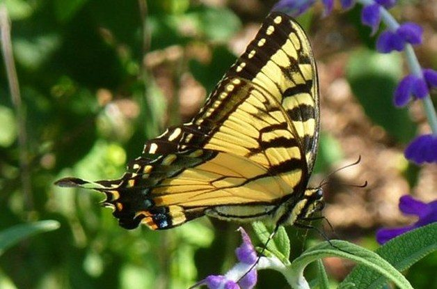 Common Swallowtail Butterflies Tiger Swallowtail 2