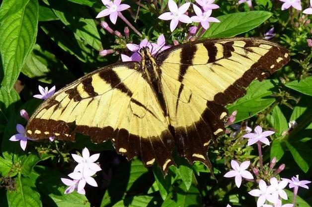 Common Swallowtail Butterflies Tiger Swallowtail