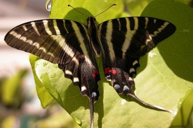 Common Swallowtail Butterflies Zebra
