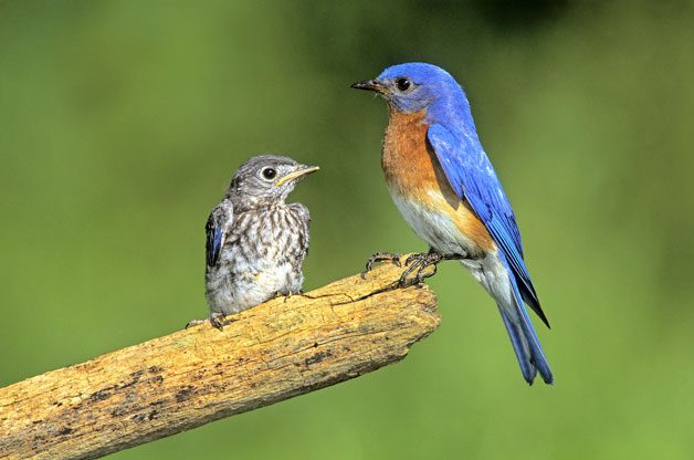 eastern bluebird with juvenile