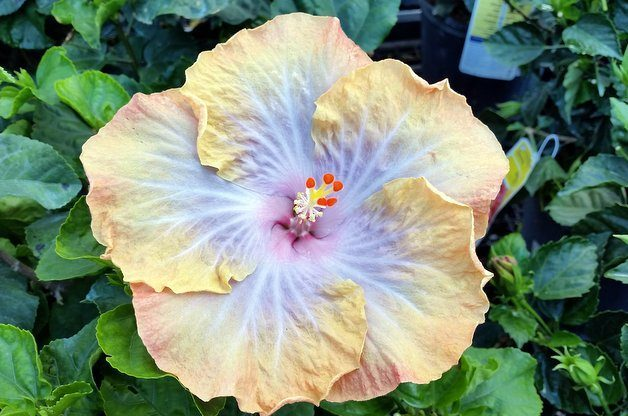 Growing Hibiscus Outdoors And In Flower Gardening