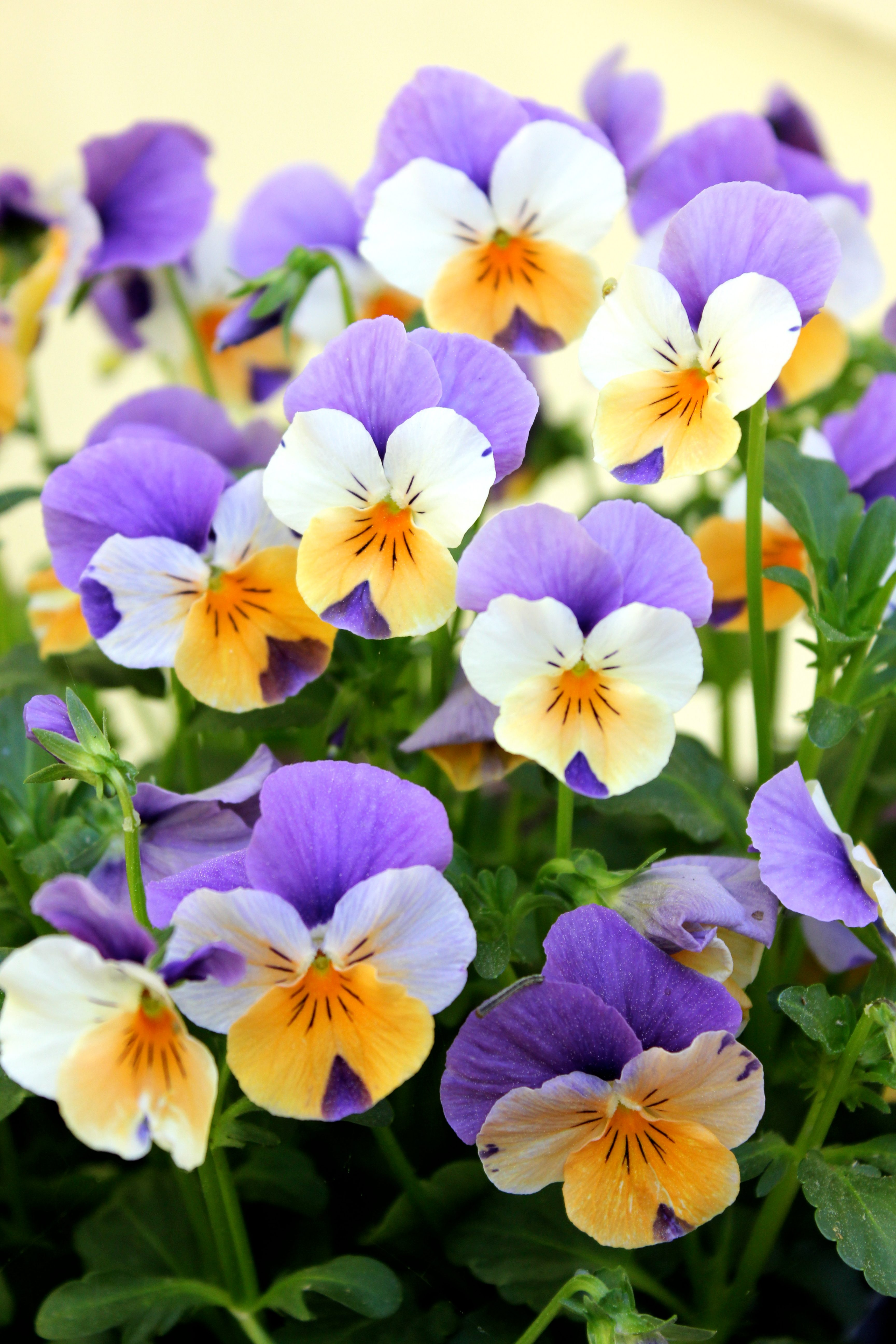 Passion For Purple Pansies Birds And Blooms