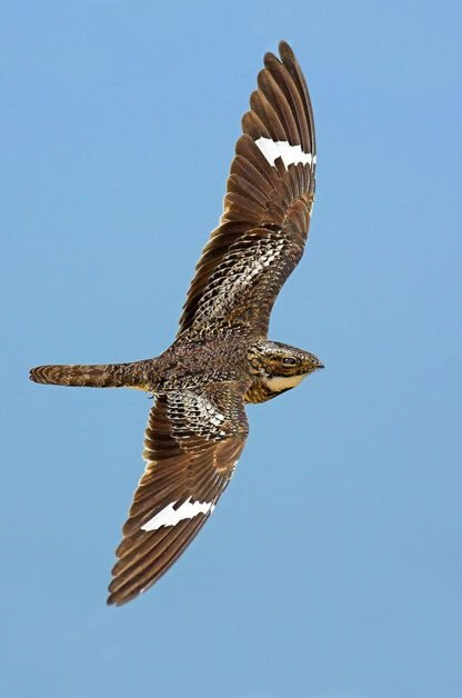 """A nighthawk's """"pzeent"""" call sounds similar to a woodcock's."""