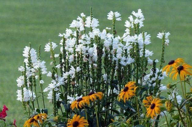 Obedient Plant in the Flower Garden
