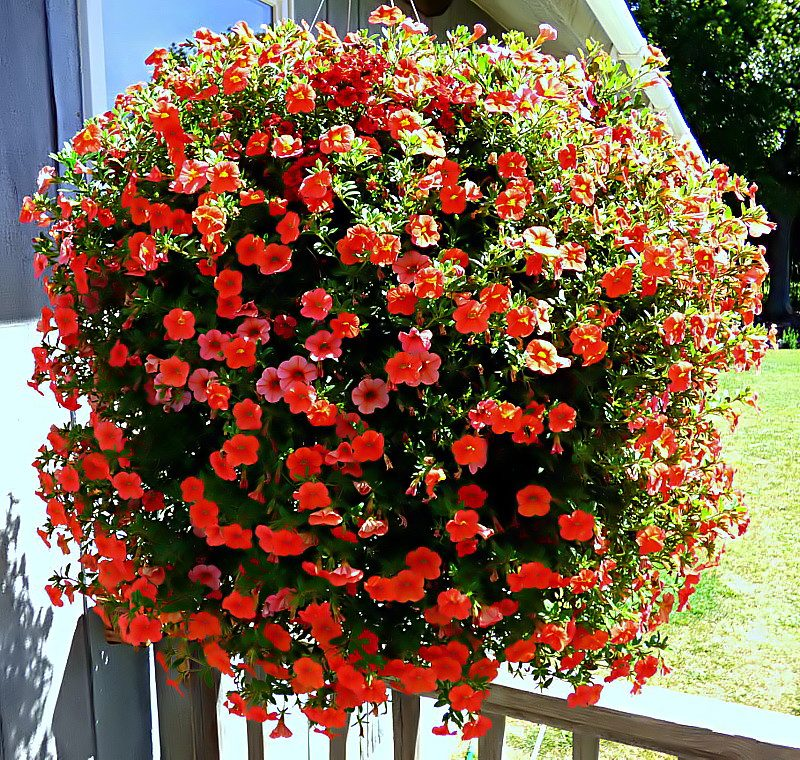 Flowers For Hanging Baskets That Attract Hummingbirds : Gigantic mini bells petunia hanging basket birds and blooms