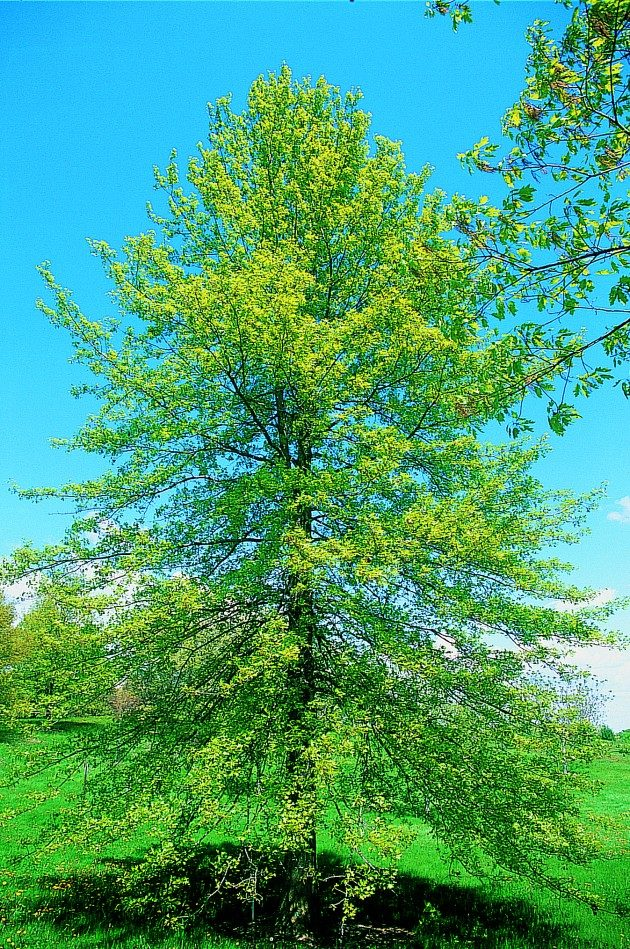 Top 10 Fast-Growing Trees | Birds & Blooms Magazine