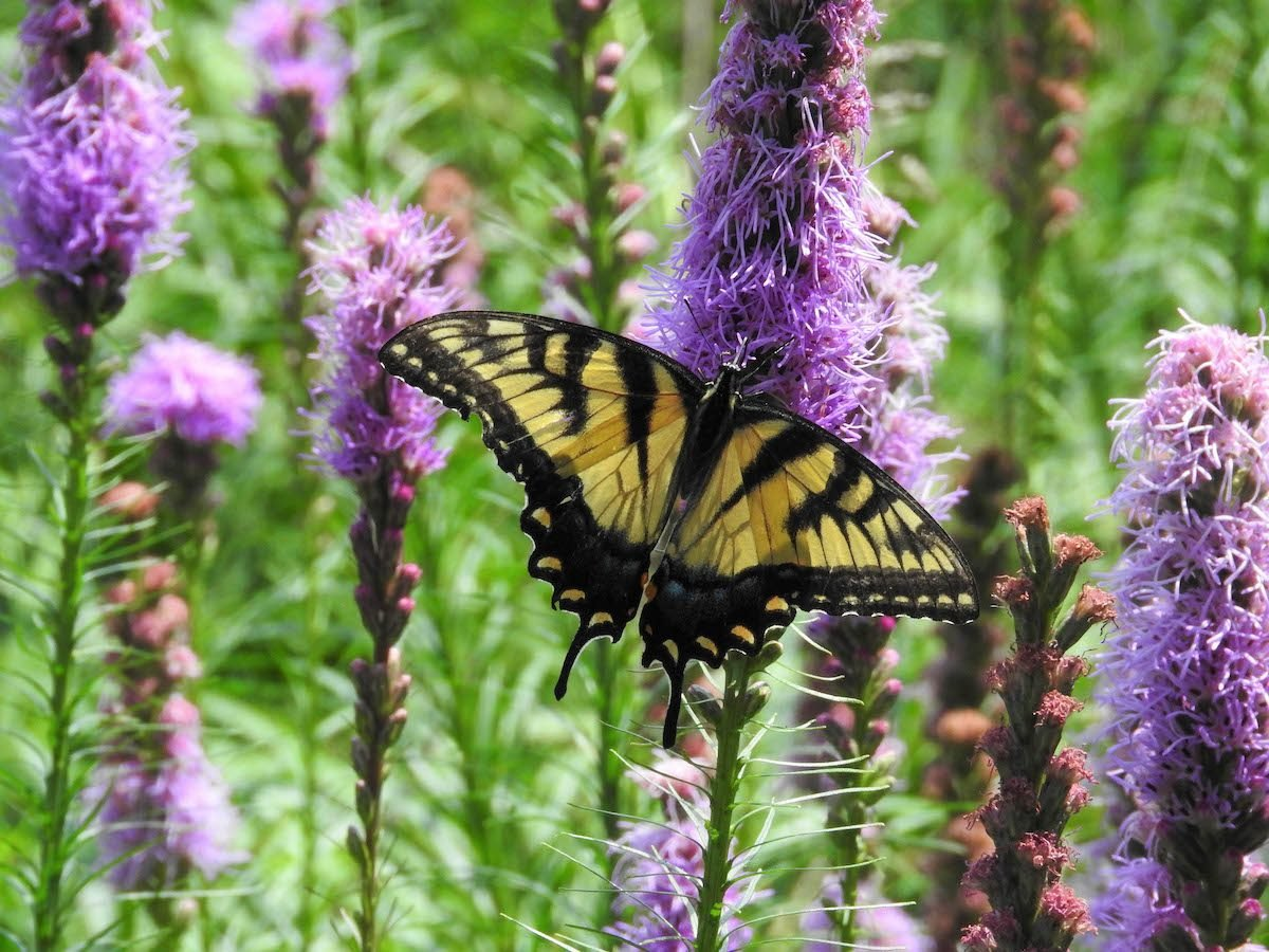 swallowtail butterfly on blazing star flower