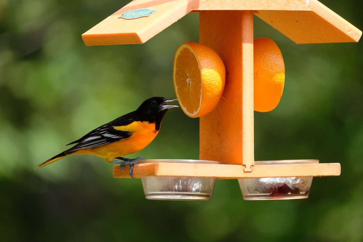 orange feeder for orioles