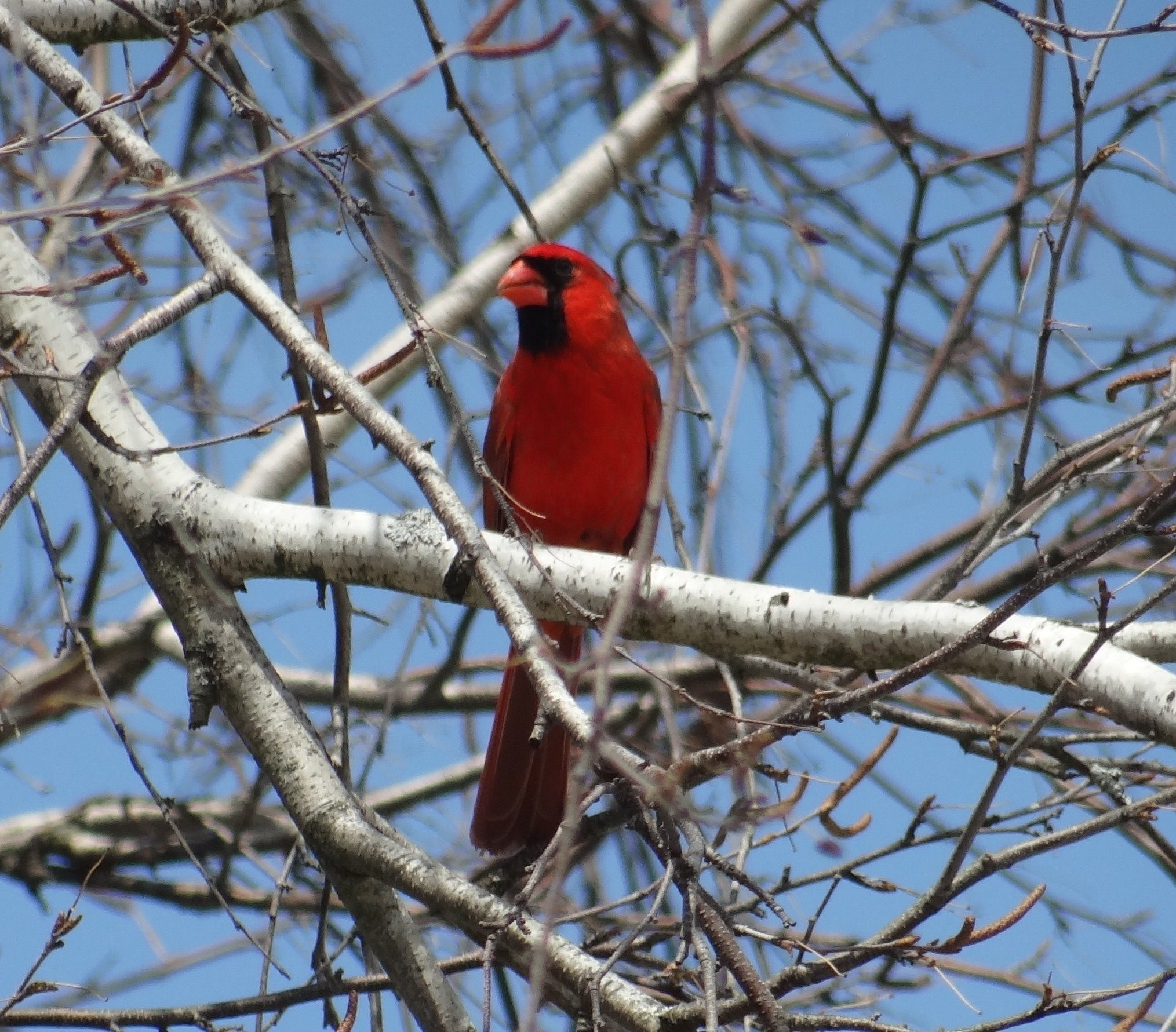 Cardinal in a birch tree birds and blooms