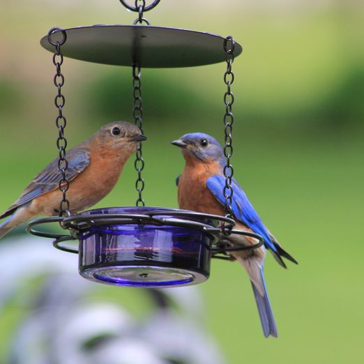 how to attract bluebirds, bluebirds at a mealworm feeder