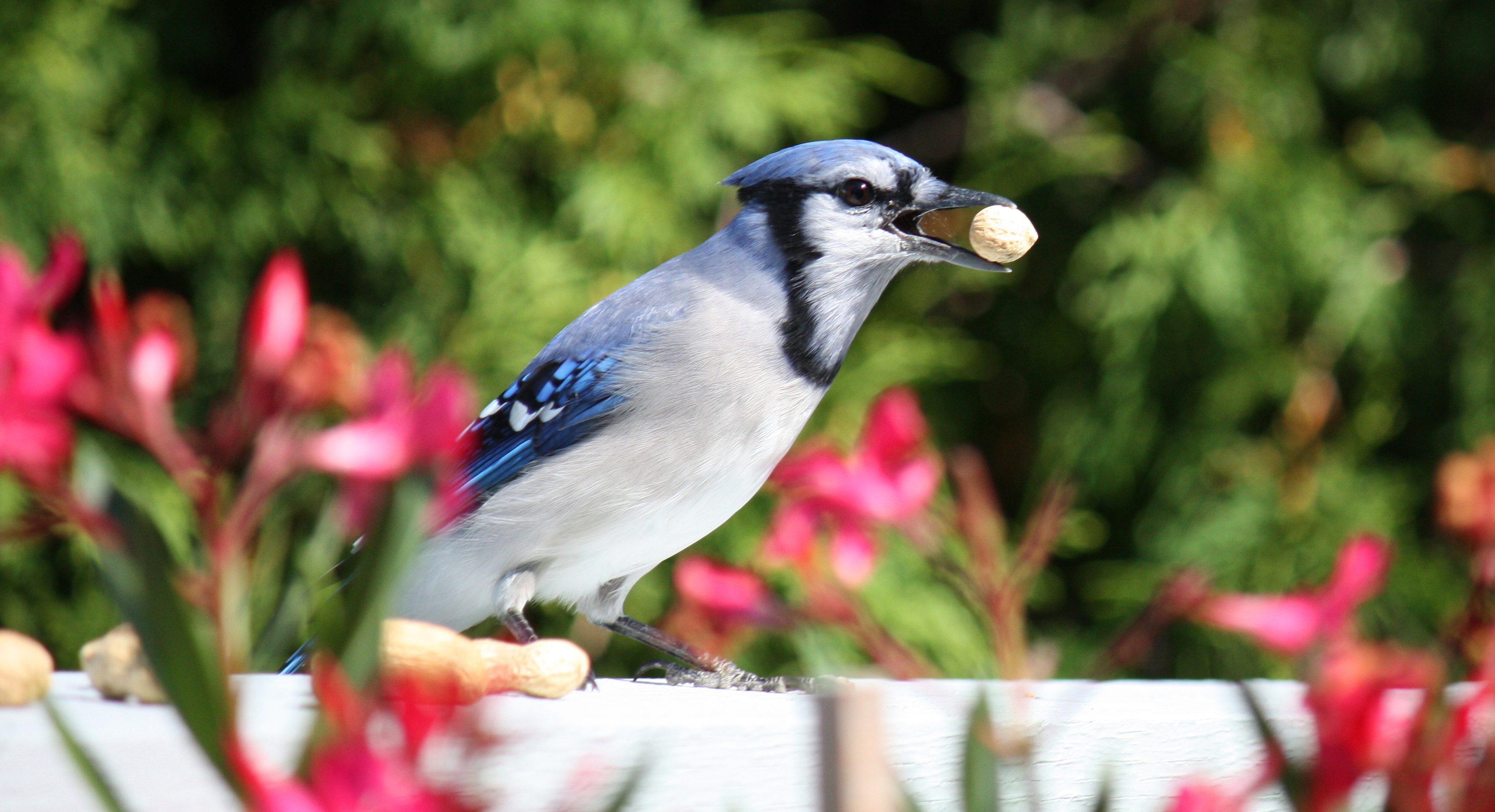 Blue Jay Crazy For Nuts Birds And Blooms