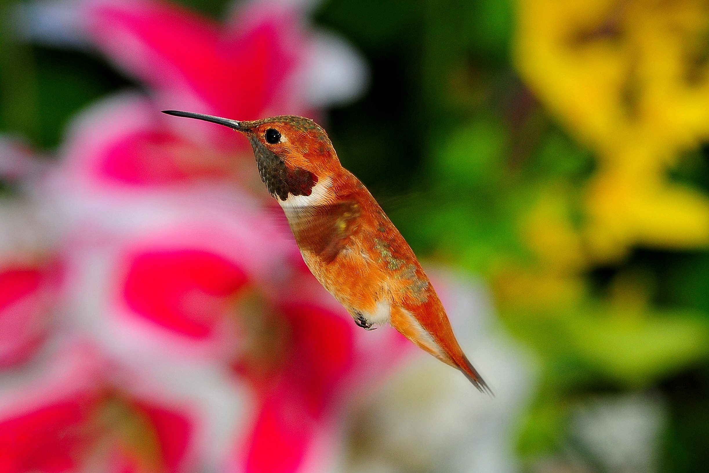 Orange Colors Of The Rufous Birds And Blooms