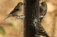Finches in Molt