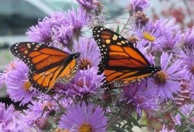 Help Migrating Monarchs with Fall Nectar Flowers
