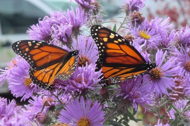 Attract Butterflies with Aster Charlene G 2
