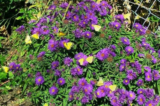 Attract Butterflies with Aster Charlene G