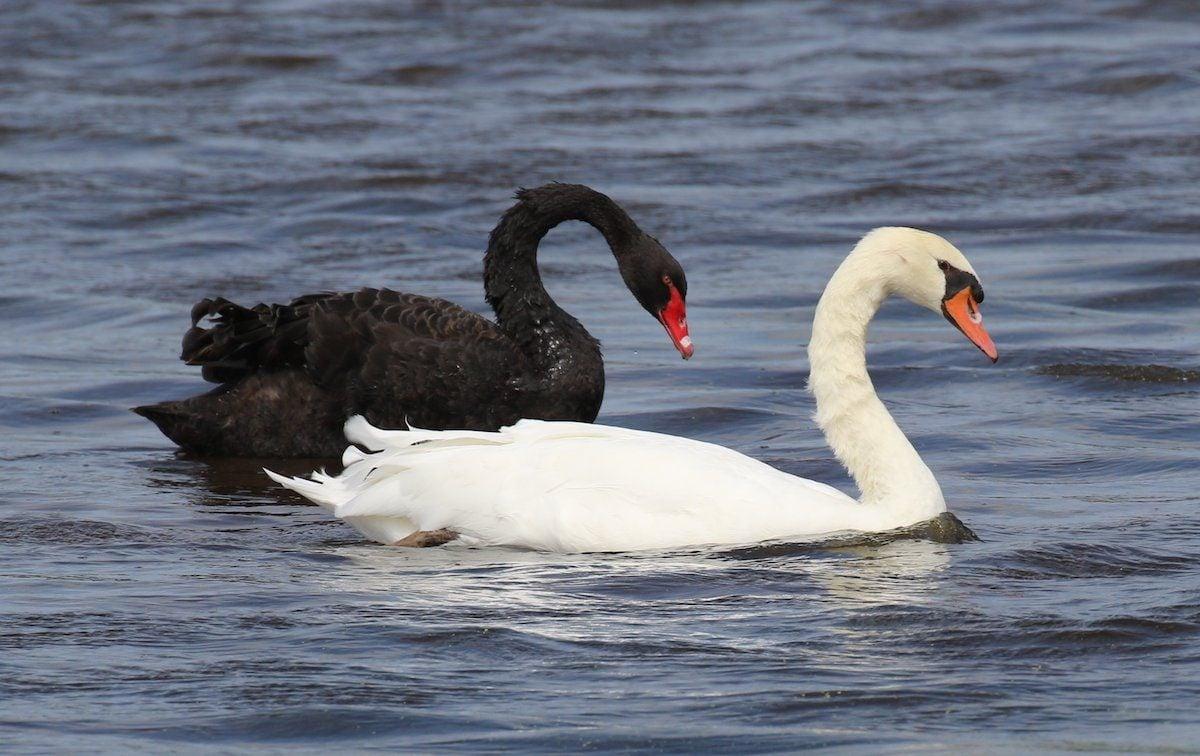 swans at Cape May NJ