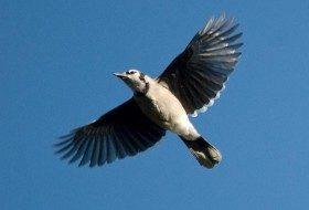 Spectacular Blue Jay Migration