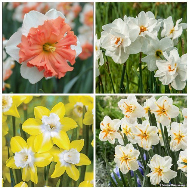 Daffodil Bulbs 2015
