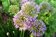 Deer Resistant Bulbs for Spring Blooms Allium