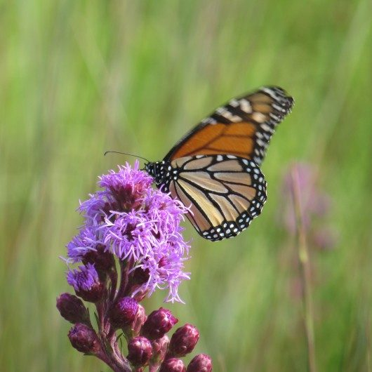 IMG4556-Monarch
