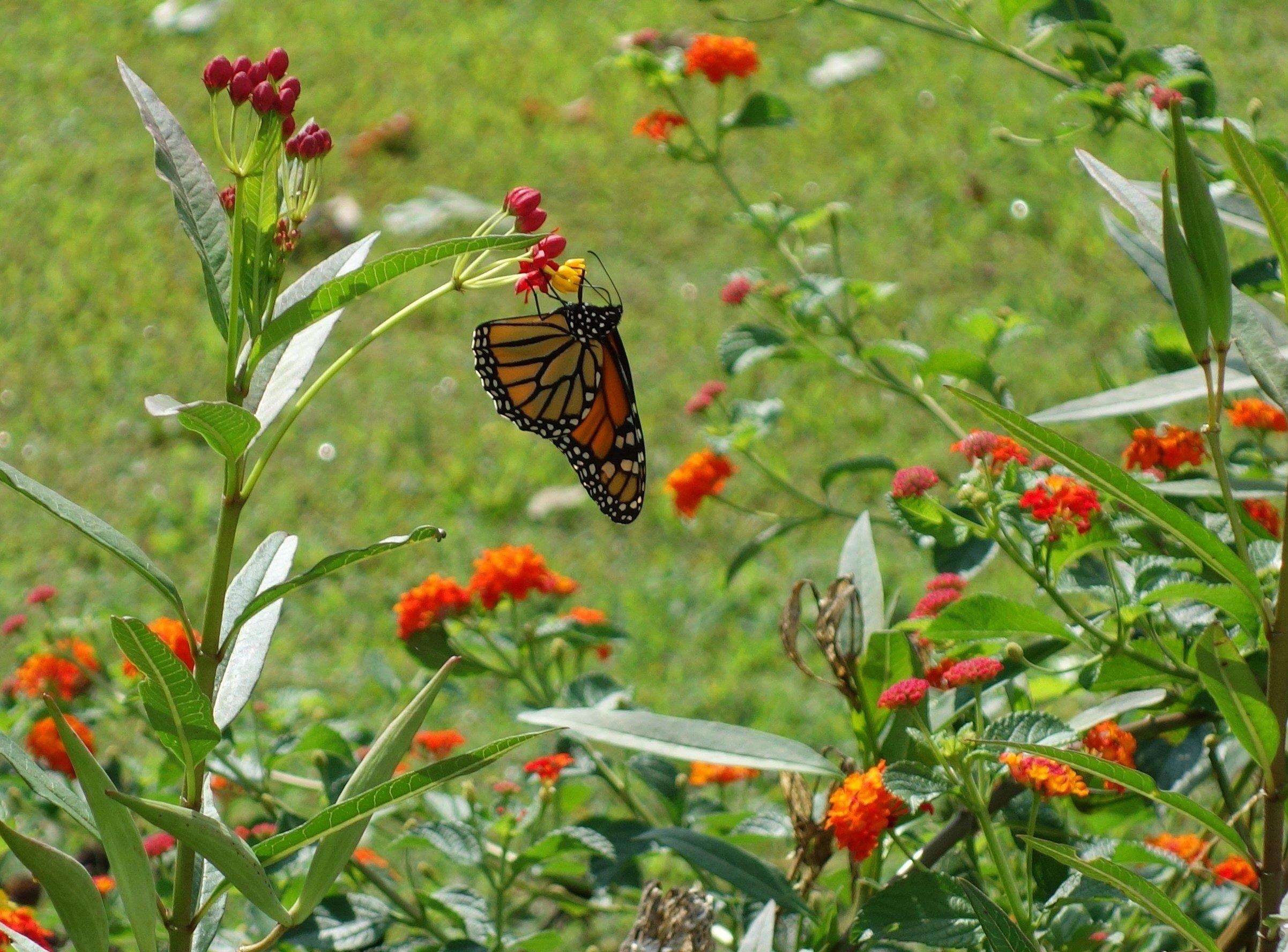 Small Butterfly Garden Ideas Photograph Monarch Birds An