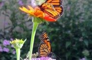 Monarch Migration Gatherings Charlene Gates