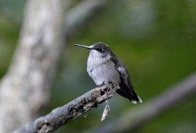 An Update on Ruby-throated Hummingbird Migration