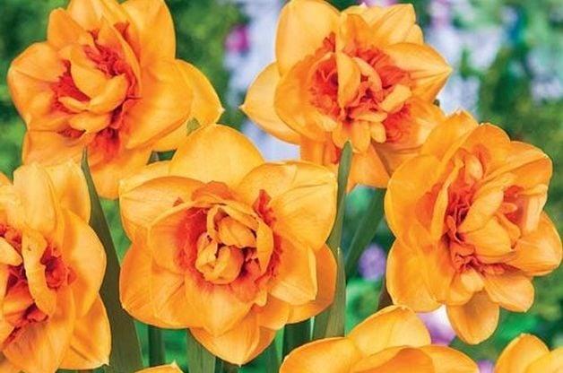 Shinto Daffodil Bulbs Brecks