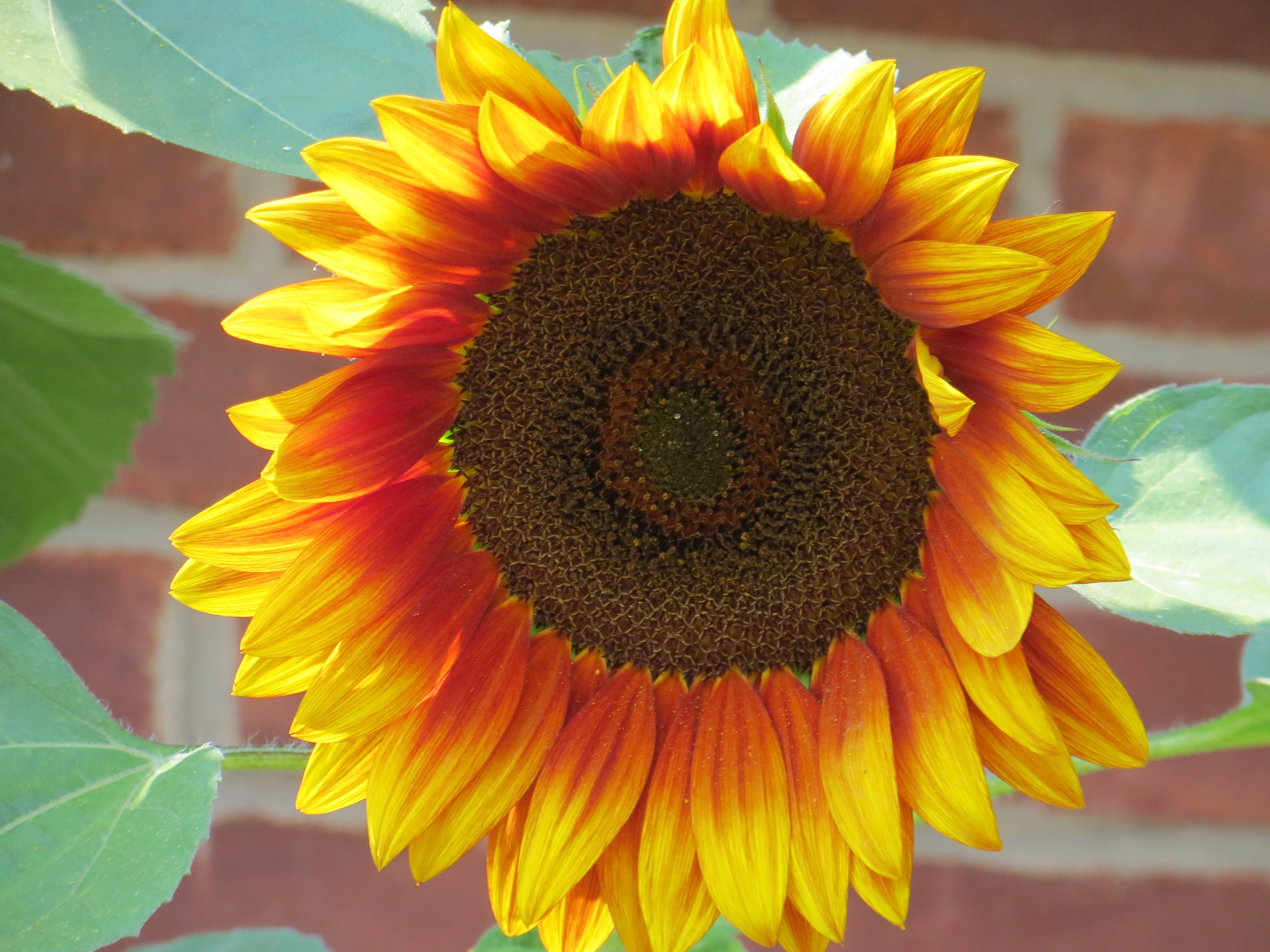 Ring Of Fire Sunflower Helianthus Annuus Birds And