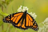 Tracking Fall Monarch Butterfly Migration