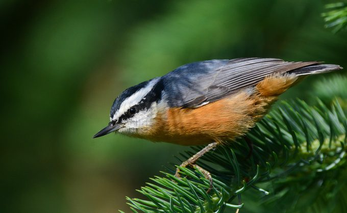 red-breasted nuthatch, what do nuthatches eat