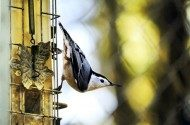 4 Foods to Attract Nuthatches to Your Yard