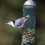 The 4 Foods Nuthatches Love to Eat