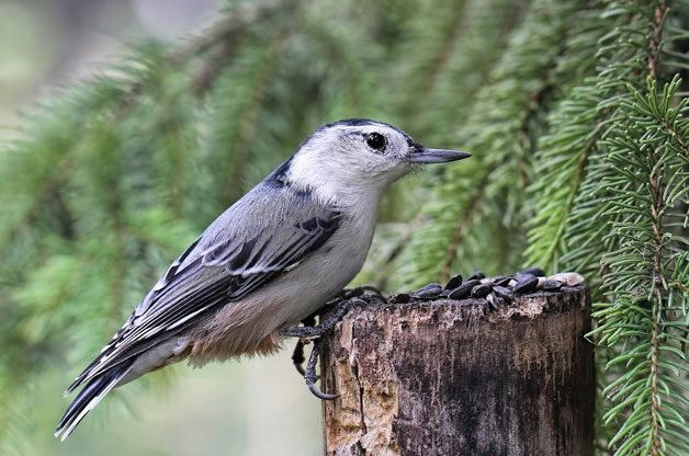 4 Foods to Attract Nuthatches to Your Yard | Birding | Birds & Blooms Magazine